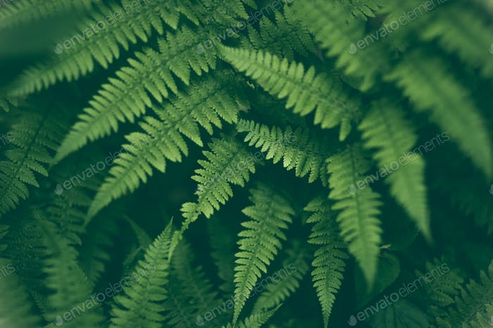 Fresh fern macro image. Horizontal orientation.