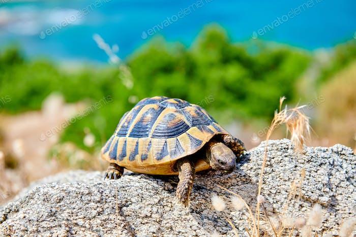 Eastern box turtle on rock