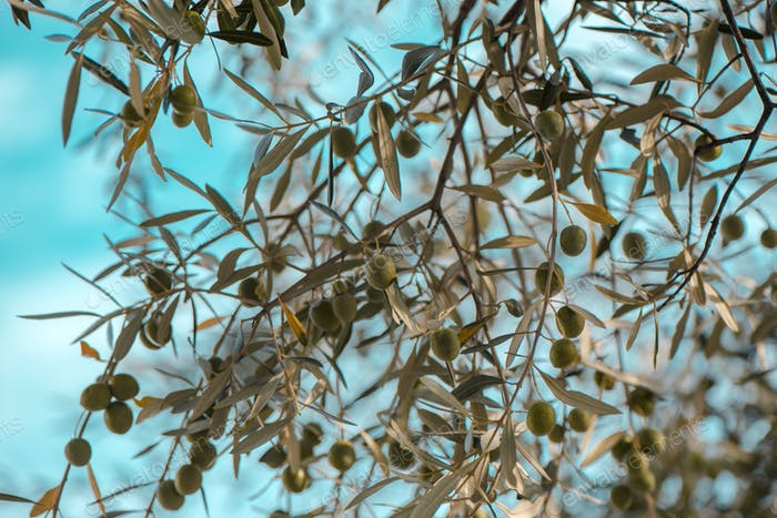 Olive tree branches in orchard