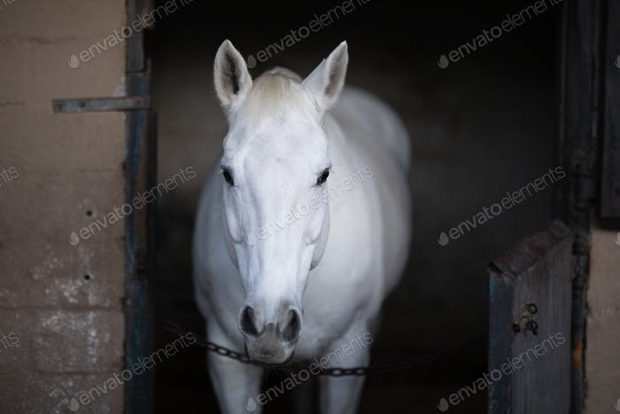 white horse standing in stable