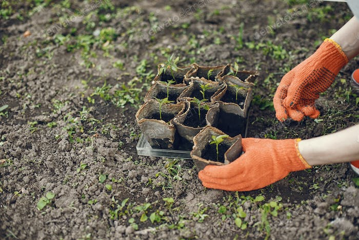 Womans hands in gloves planting young plant
