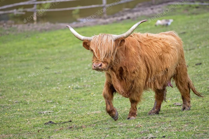 Scottish cow in a clearing