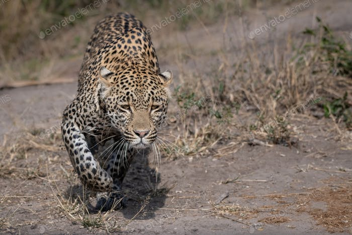 A leopard, Panthera pardus, stalks with muddy legs