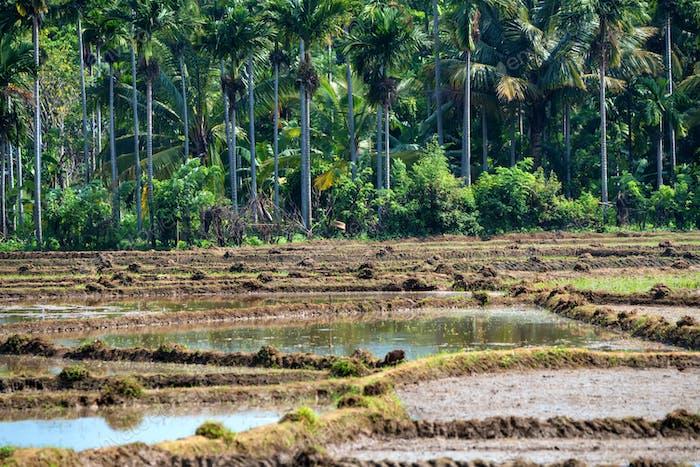 Felder mit Reiskulturen in Sri Lanka