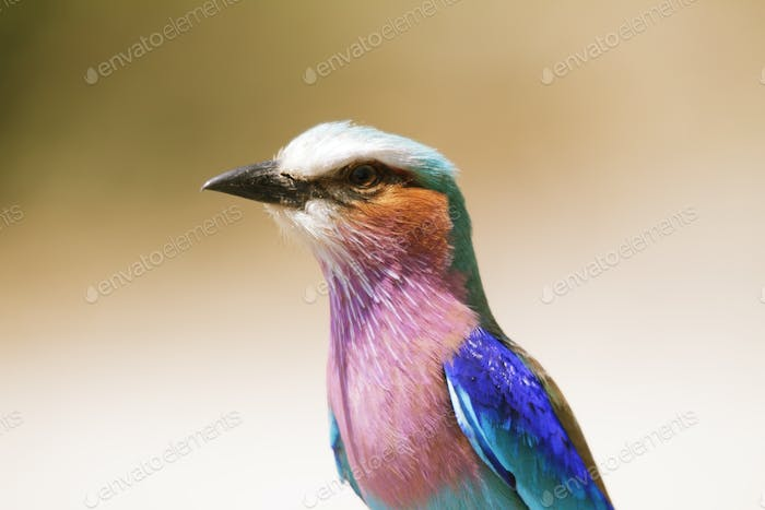 Lilac Breasted Roller in Chobe riverfron