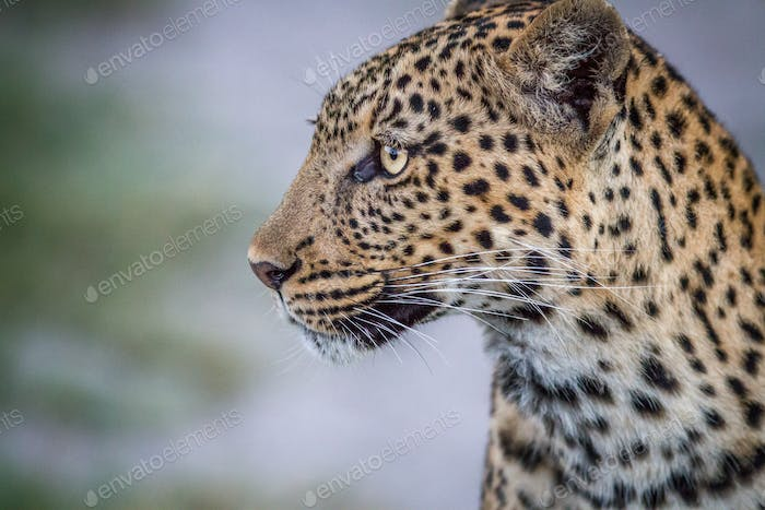 Side profile of a young Leopard.