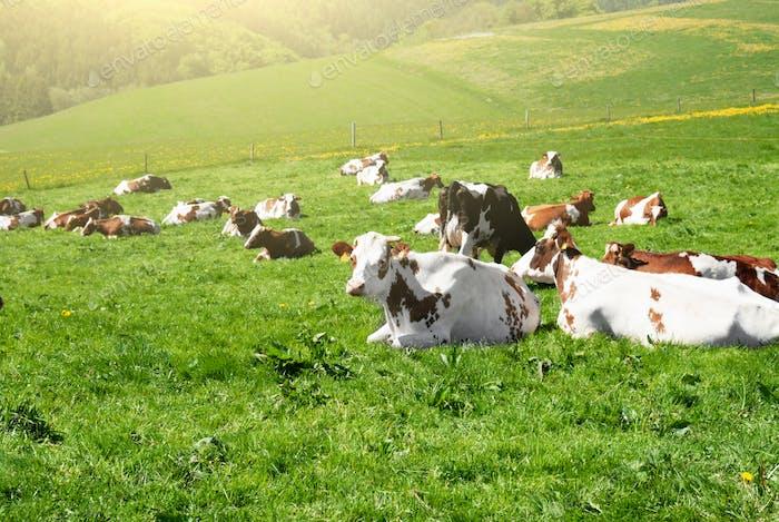 Kühe grasen auf einer grünen Sommerwiese unter blauem klarem Himmel in NRW, Deutschland