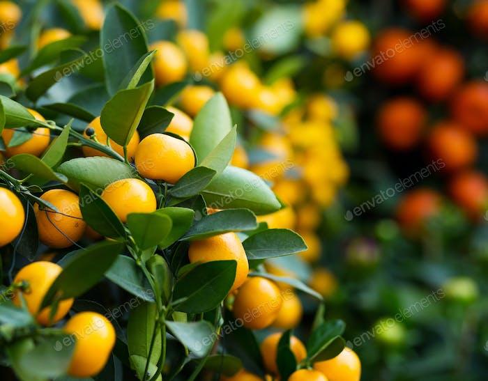 Mandarine für Mondneujahr