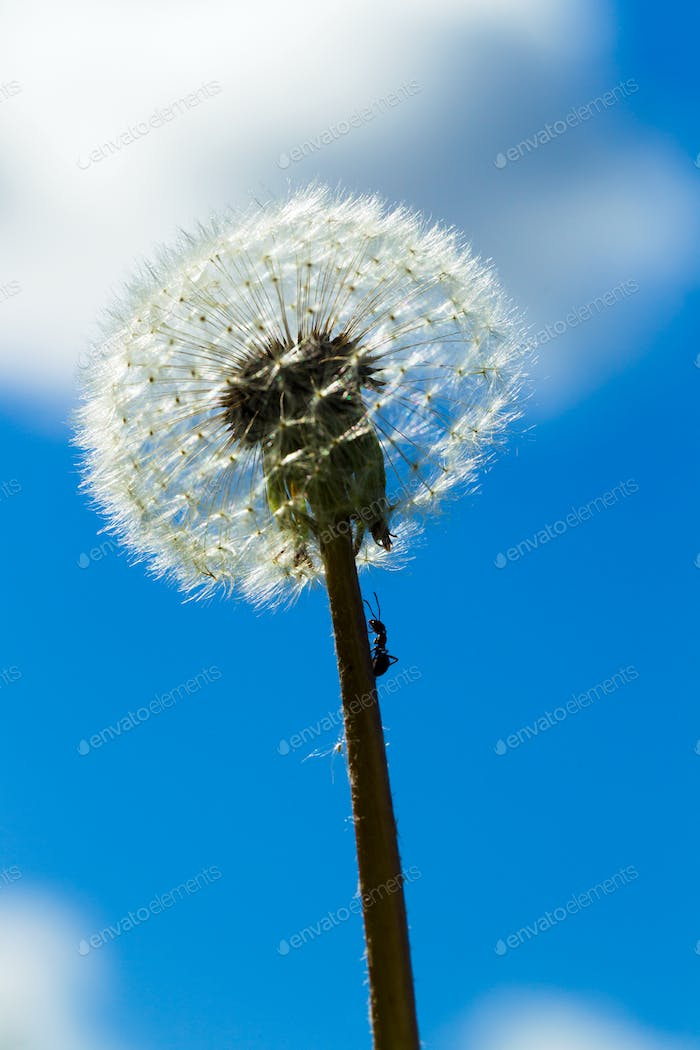 Dandelion against a blue sky with white clouds