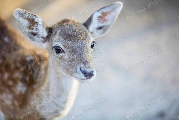 White-tailed deer fawn in zoo