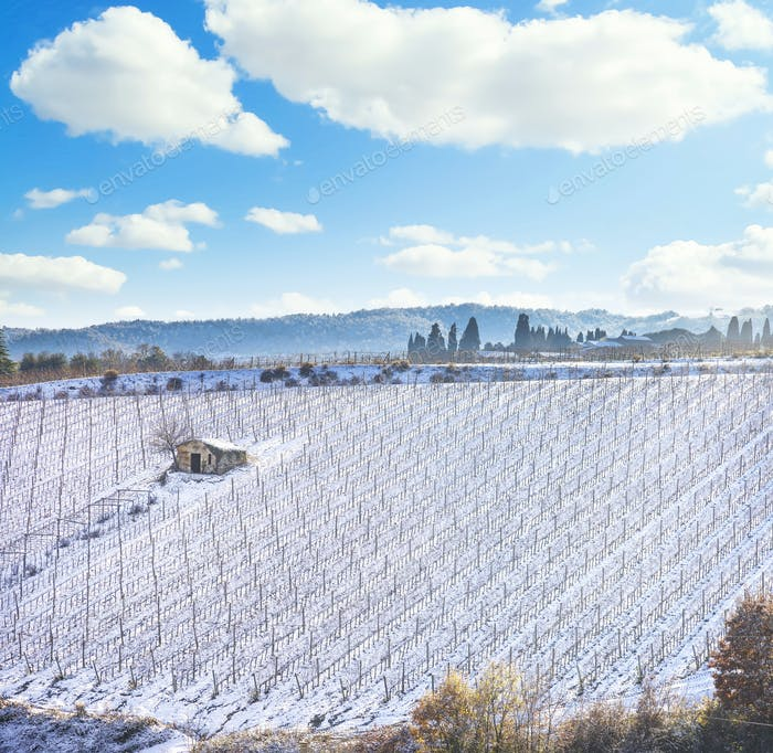 Vineyards rows covered by snow in winter. Montalcino, Siena, Tuscany, Italy