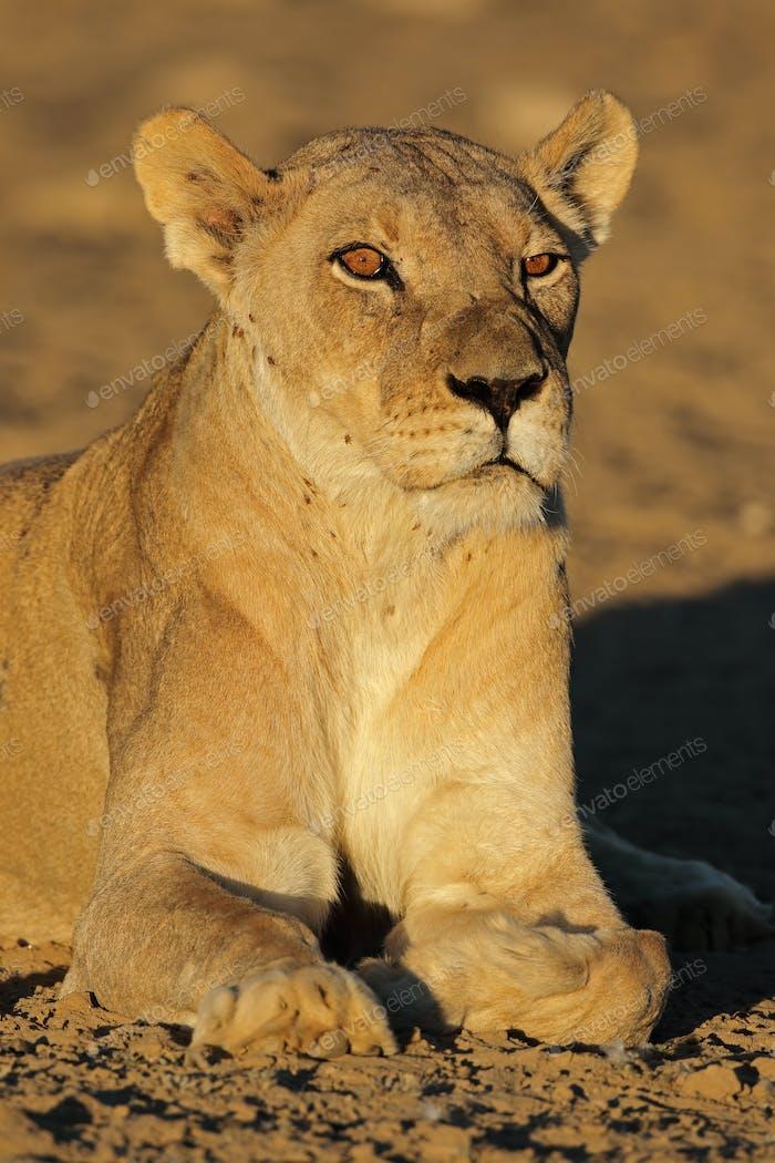 African lioness portrait