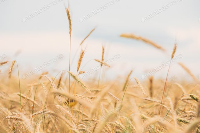 Young Wheat Field. Summer Agricultural Field Close Up
