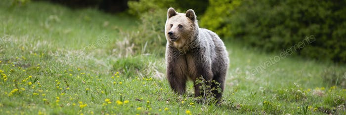 Fluffy brown bear female standing on a meadow in spring