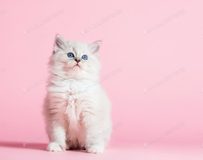 Ragdoll cat, small cute kitten portrait on pink background