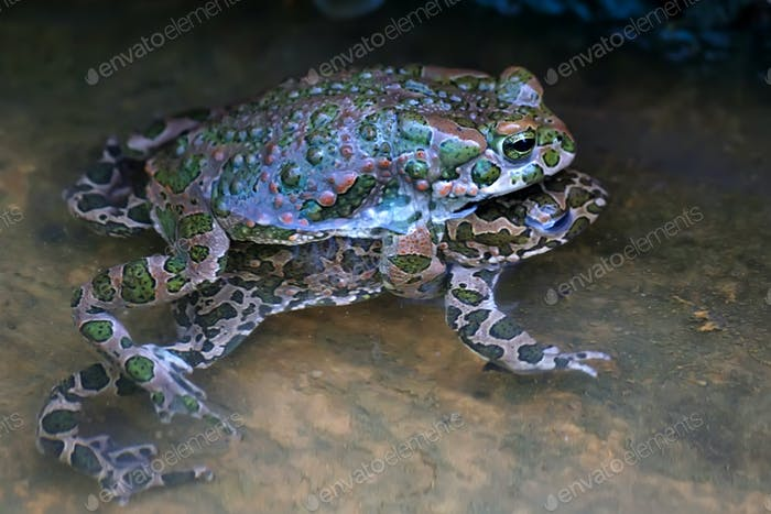 Green toads mating