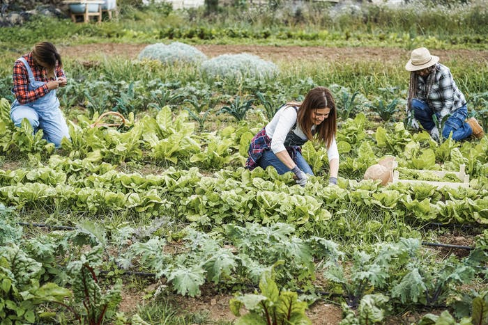 Personnes multiraciales travaillant tout en ramassant plante de laitue - Focus sur le visage de la femme centrale