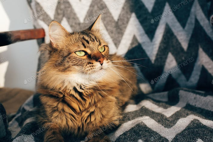 Maine coon with green eyes and funny emotions relaxing in sunlight