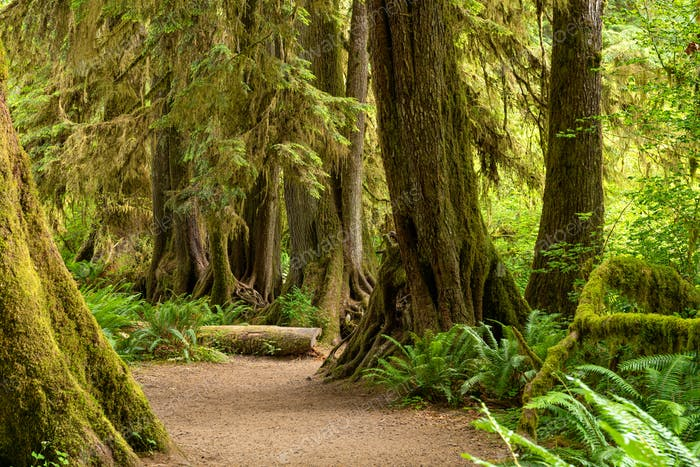 Salón de musgos en la selva Hoh del Parque Nacional Olímpico, W