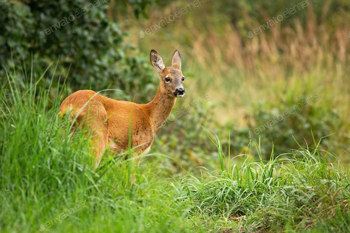 Bored female roe deer standing in tall vegetation, Slovakia, Europe
