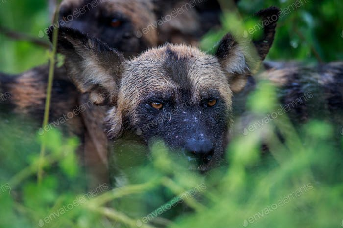 Wet African wild dog in the bush.