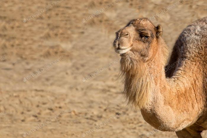 Kamel, ein Porträt
