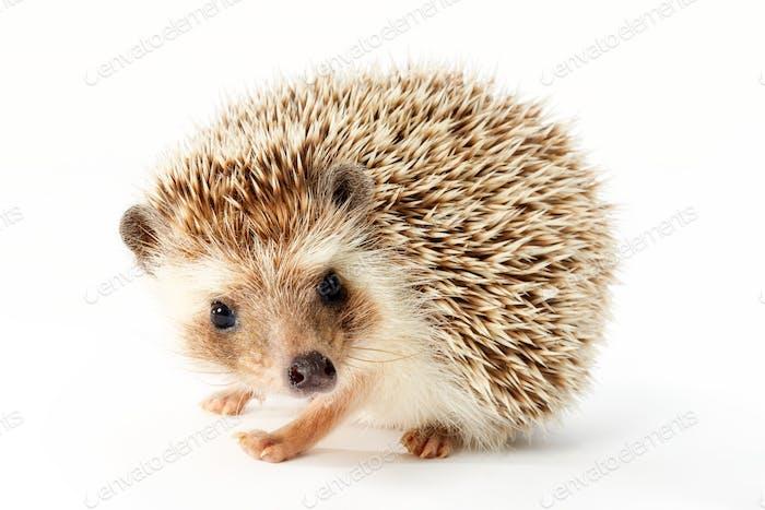 hedgehog, erinaceus albiventris