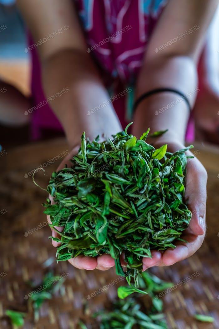 Vertikale Aufnahme von frischen Teeblättern aus der Plantage