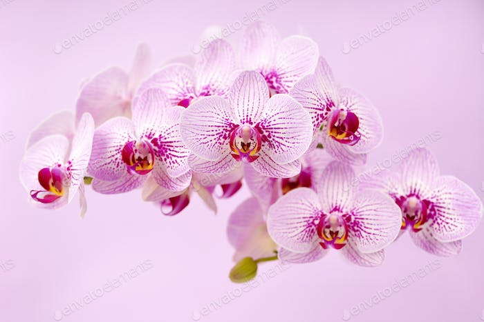 Beautiful orchid flowers on a pink background. Floral background