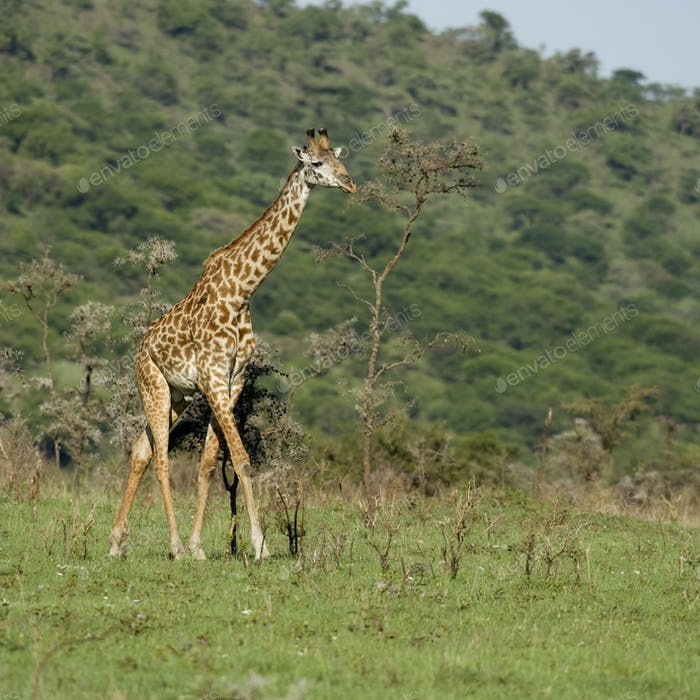 Girafe in der Serengeti
