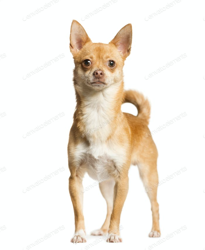 Mixed-breed Dog standing in front of the camera, Dog, pet, studio photography, cut out