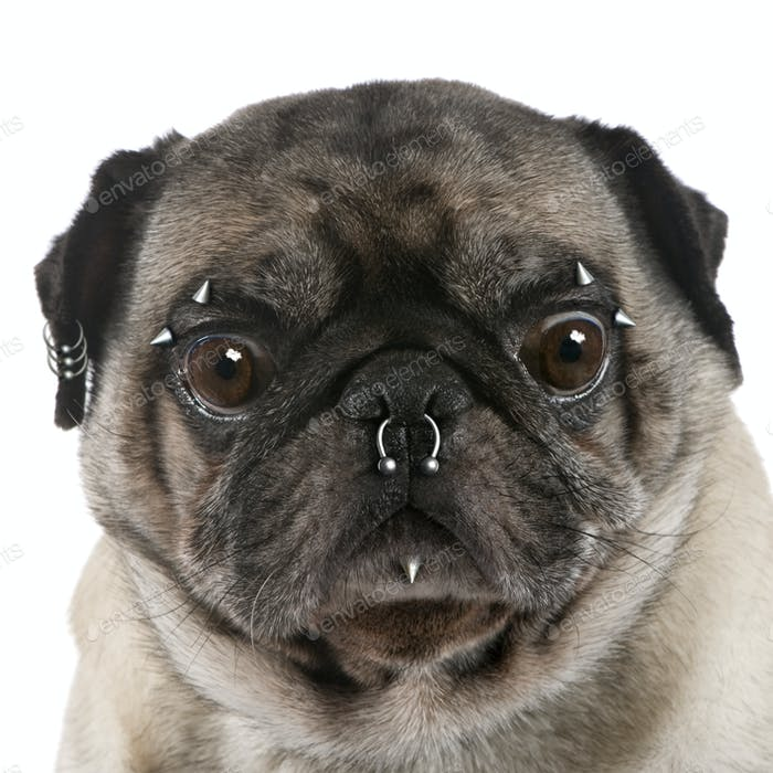 Portrait of pug with nose and face piercings in front of white background, studio shot