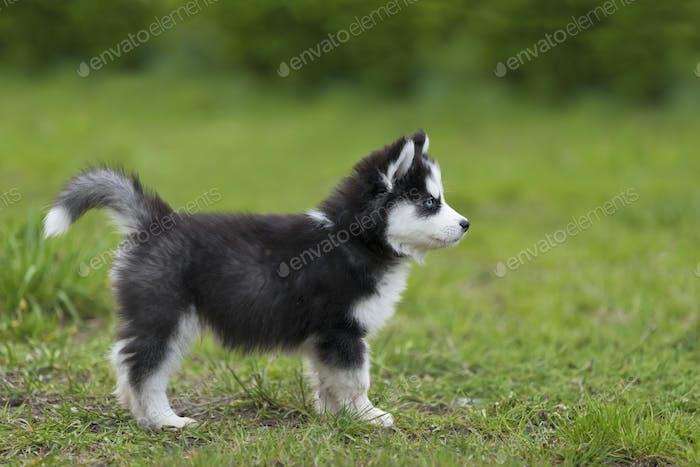 Niedliche kleine Husky Welpen