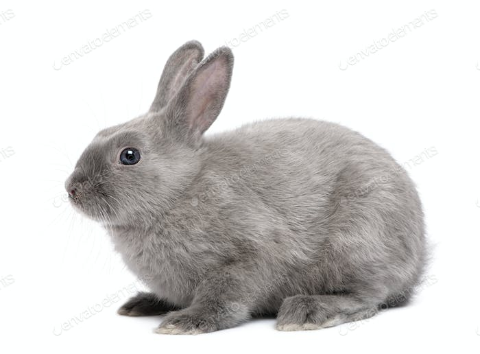 Grey Rabbit in front of white background