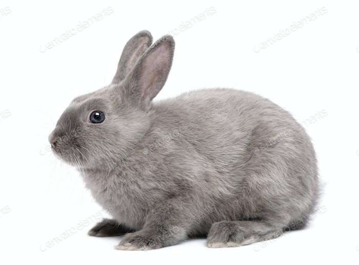 Graues Kaninchen vor weißem Hintergrund
