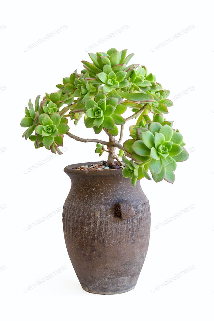 potted succulent plant isolated