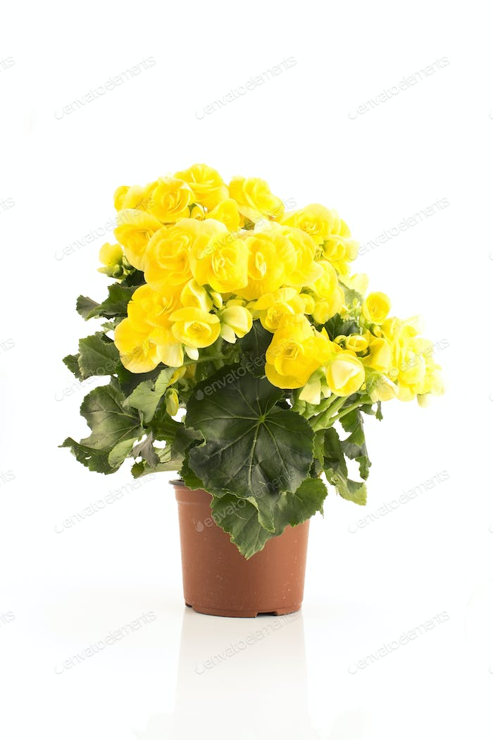Yellow Begonia Potted Isolated on White