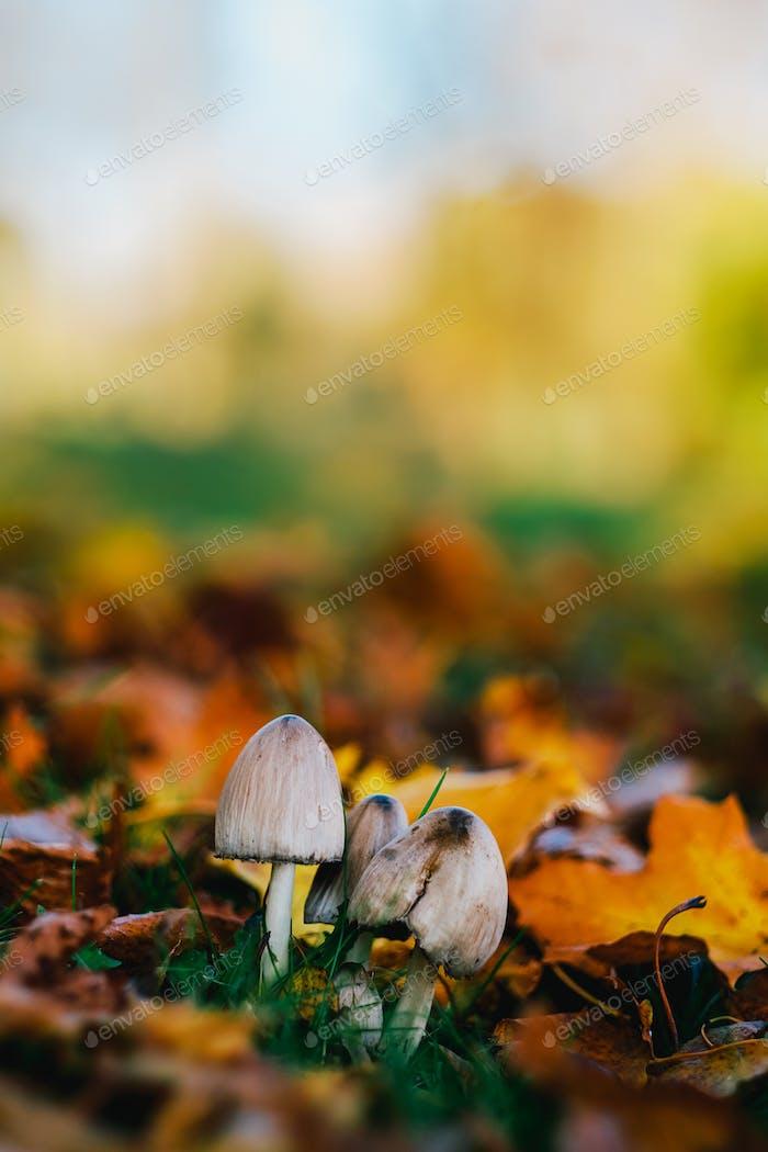 Mushroom in autumn park