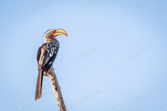 Yellow-billed hornbill sitting on a branch.