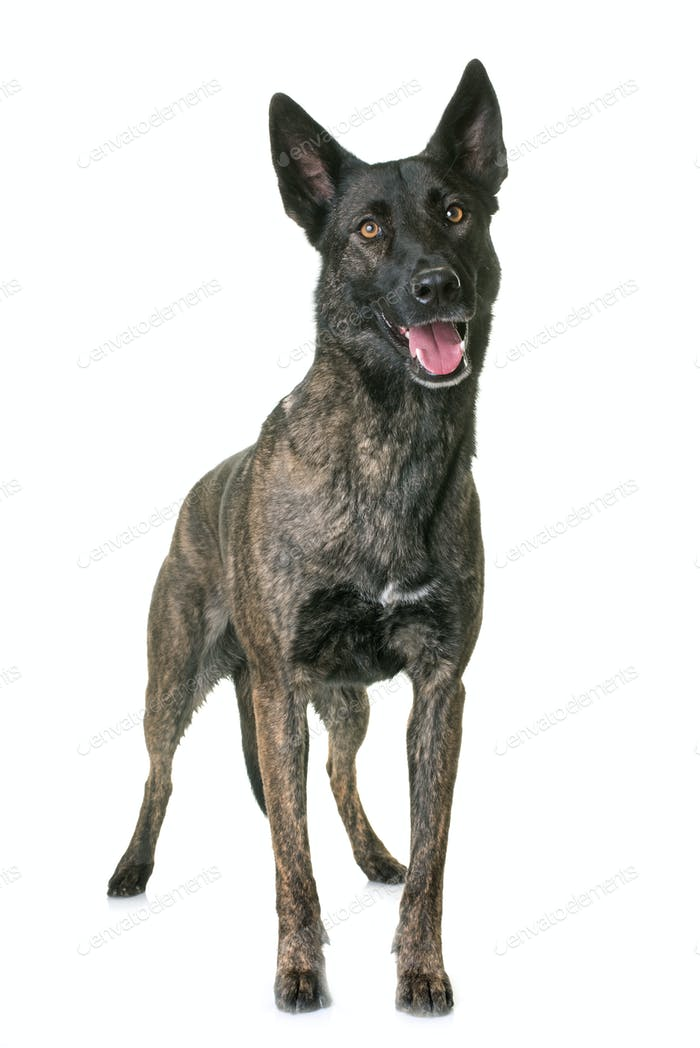 dutch shepherd in studio