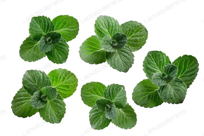 Peppermint leaves Mentha piperita, paths