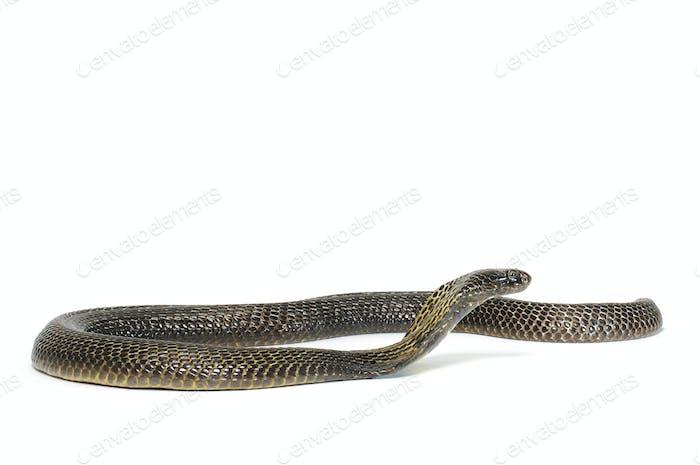 Black Pakistani Cobra