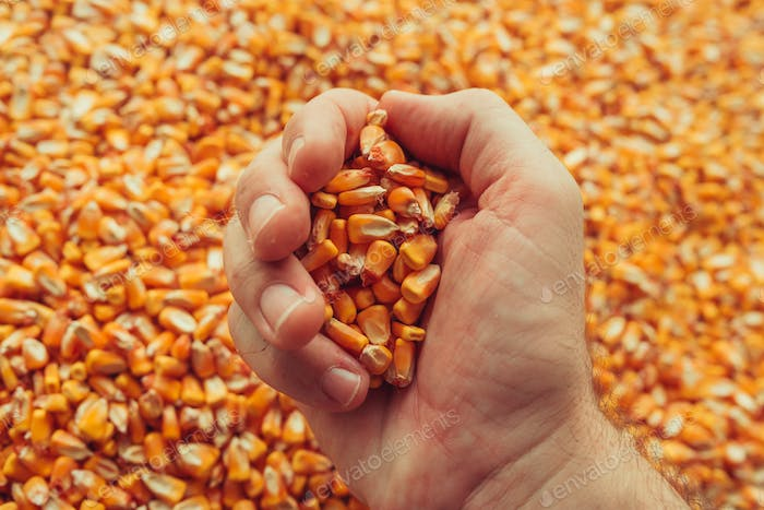 Farmer handful of harvested corn kernels