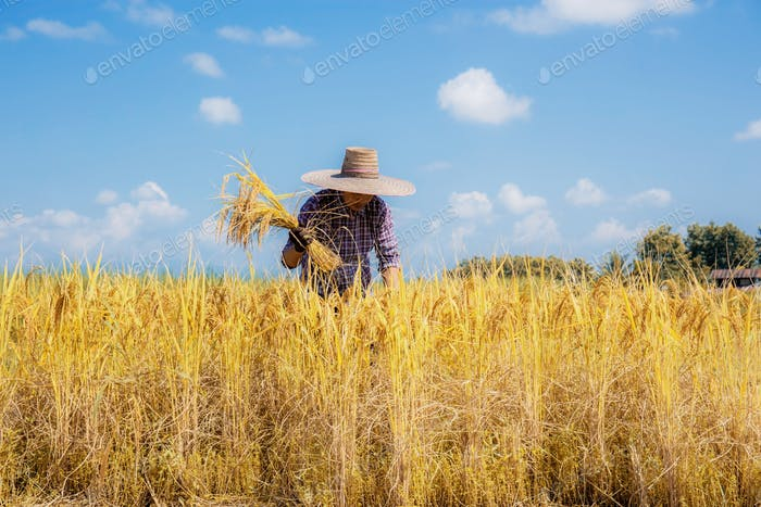 Farmers are harvesting rice in fields