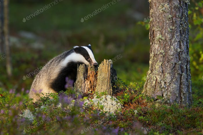 European badger sniffing tree stump with nose and looking for food in summer