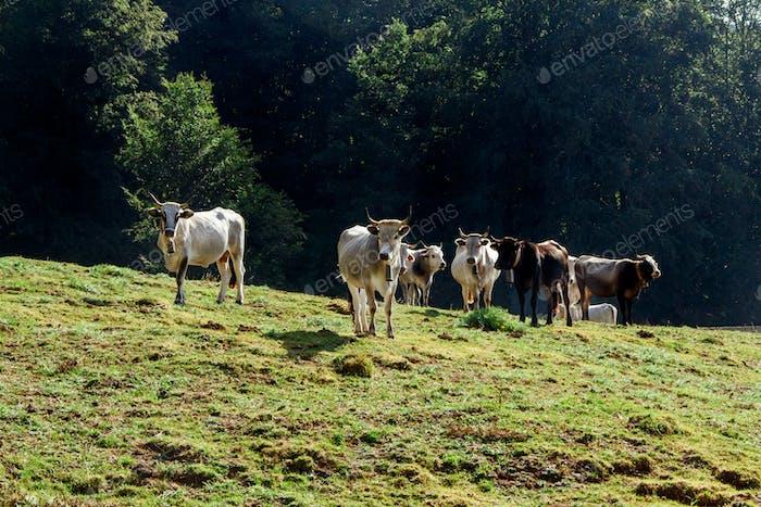 Podolic Kühe auf der Weide bei Sonnenaufgang