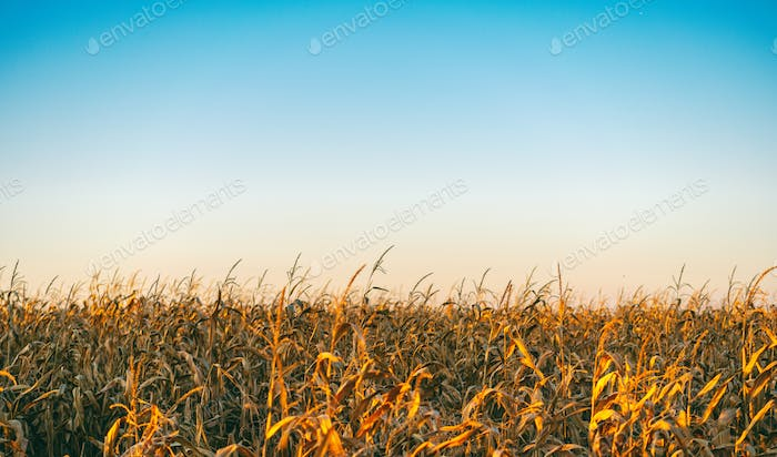 Field with dried corn