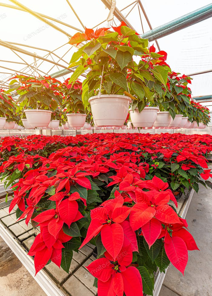 Red poinsettia flowering plants