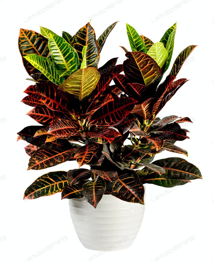 Attractive Croton Plant on White Pot