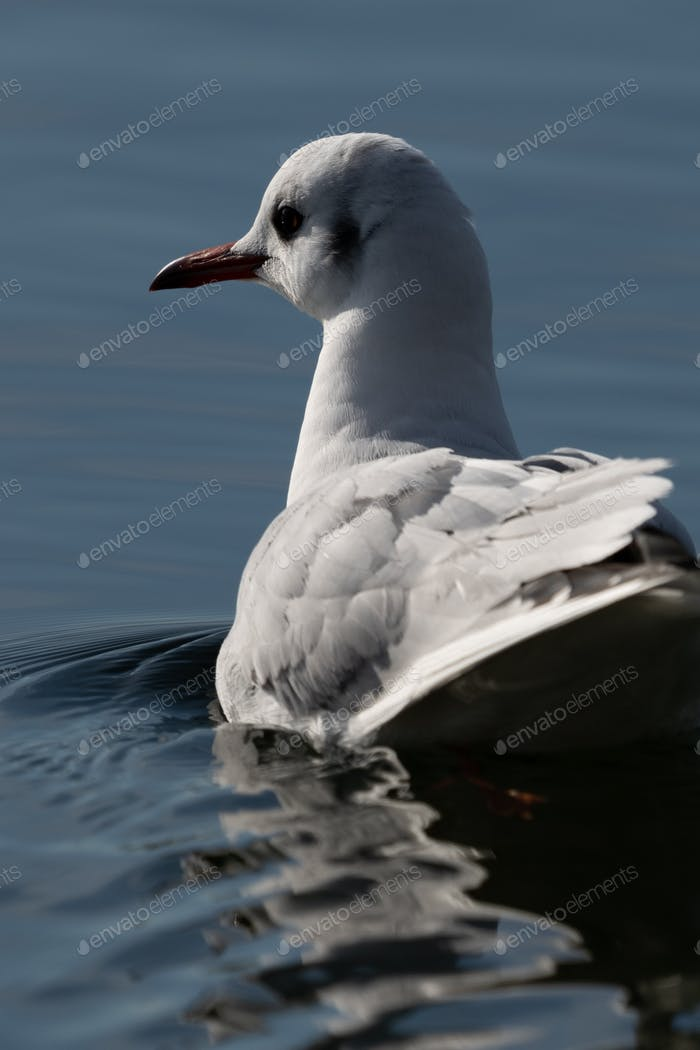 Seagull on the water, close-up